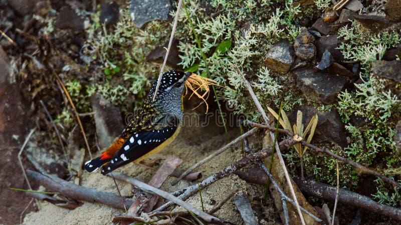 Le m?le a rep?r? l'oiseau de Pardalote avec le mat?riel d'embo?tement photographie stock libre de droits