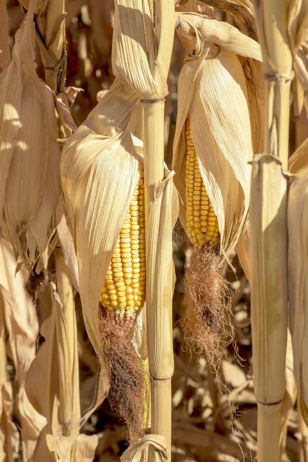 Le maïs égrappe le séchage dans un domaine d'agriculteurs images libres de droits