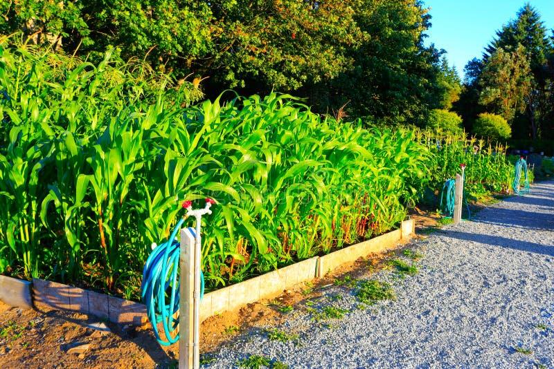 Le maïs se développe dans le petit jardin Coucher du soleil photos libres de droits