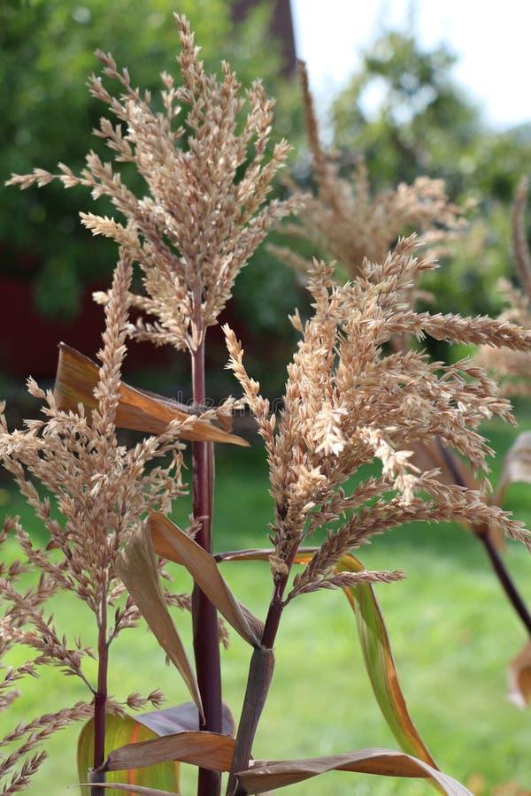 Le maïs sec égrappe des glands sur un fond vert de végétation photographie stock libre de droits