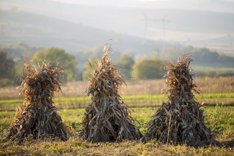 Le maïs sec égrappe les gerbes d'or dans le domaine herbeux vide après harve image libre de droits