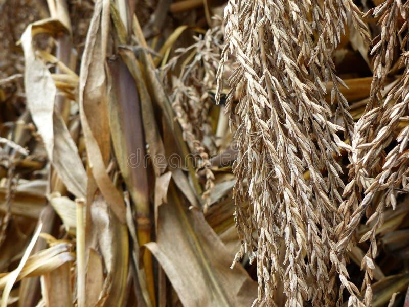 Le maïs sec part et le maïs égrappe la texture photos stock