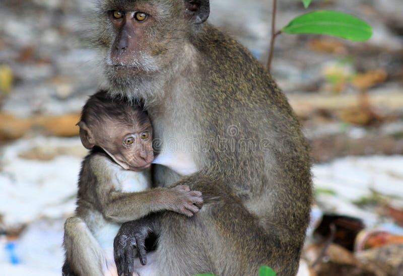 Le Macaque long-coupé la queue parconsommation de chiot de singe, fascicularis de Macaca taquinant la mère pendant allaitent au s photos libres de droits