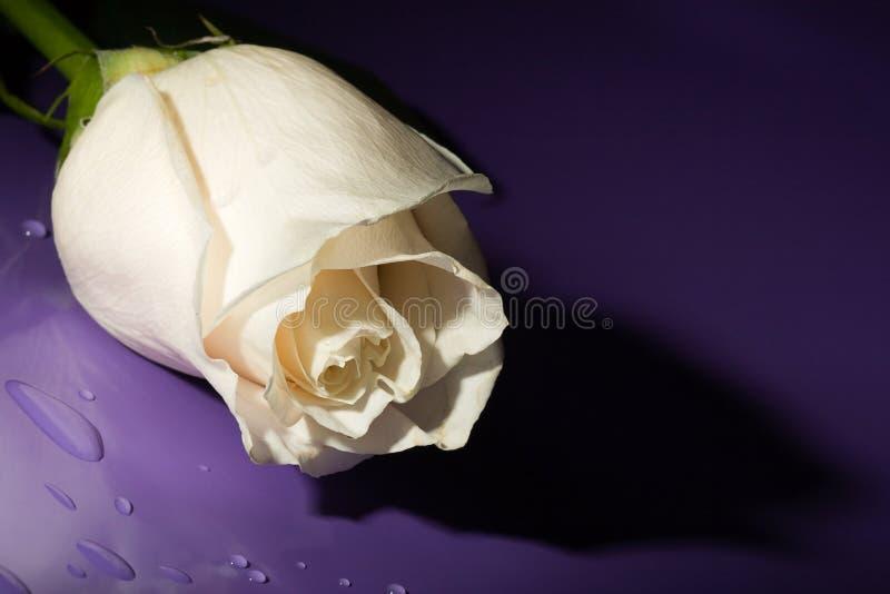 Le macro blanc a monté sur le lilas image libre de droits