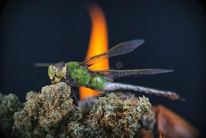 Le macro détail des nugs de cannabis et la libellule avec le feu flambent dans t photos stock