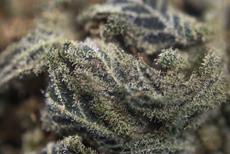 Le macro détail du cannabis bourgeonnent de et x22 ; reaper& x22 d'ob ; tension W de marijuana photo stock
