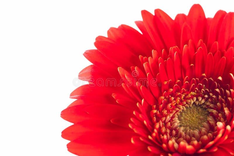 Le macro de la fleur rouge de marguerite de Gerbera sur un blanc a isolé le fond photographie stock