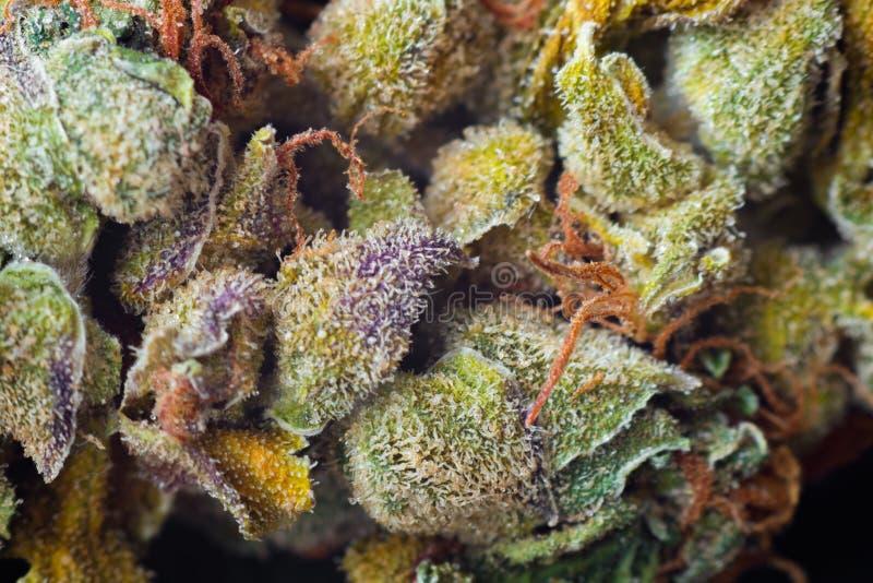 Le macro foto di marijuana raccolgono i coni con le foglie coperte di tricomi La vista del clse della pianta della cannabis immagini stock libere da diritti
