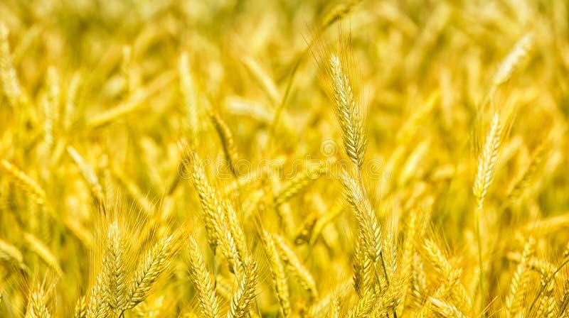 Le macro or met en place le panorama de blé avec le ciel bleu et les nuages, campagne rurale images stock