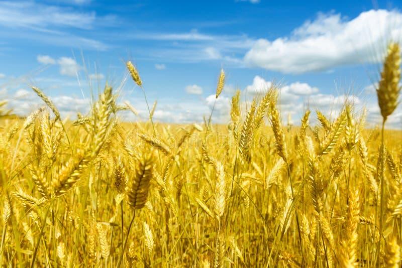 Le macro or met en place le panorama de blé avec le ciel bleu et les nuages, campagne rurale photos stock