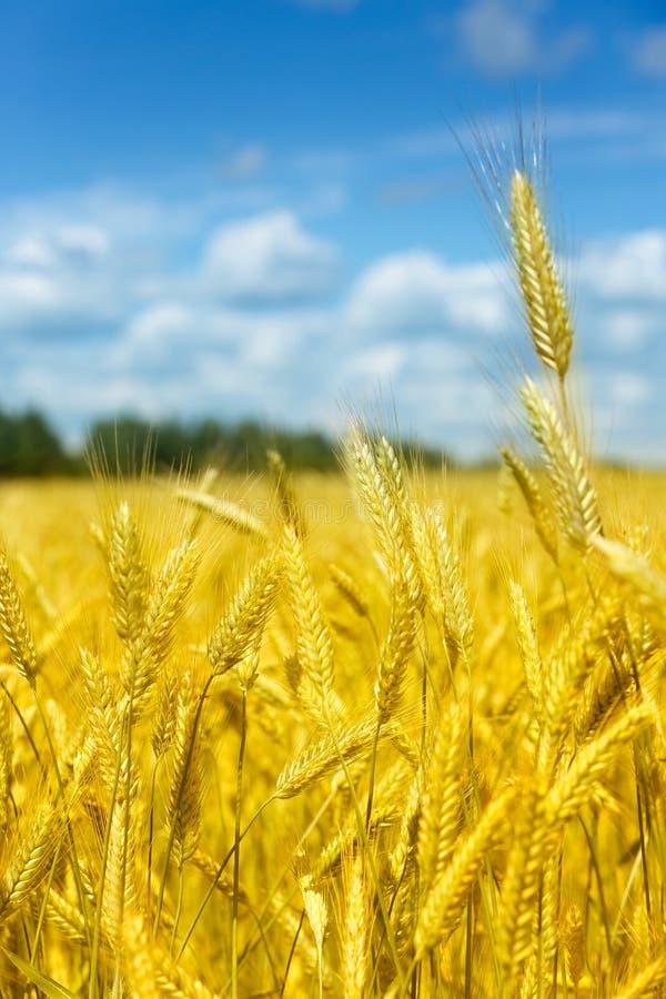 Le macro or met en place le panorama de blé avec le ciel bleu et les nuages, campagne rurale photographie stock libre de droits