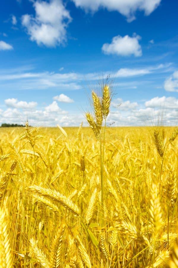 Le macro or met en place le panorama de blé avec le ciel bleu et les nuages, campagne rurale image stock