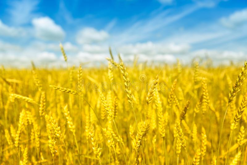 Le macro or met en place le panorama de blé avec le ciel bleu et les nuages, campagne rurale images libres de droits