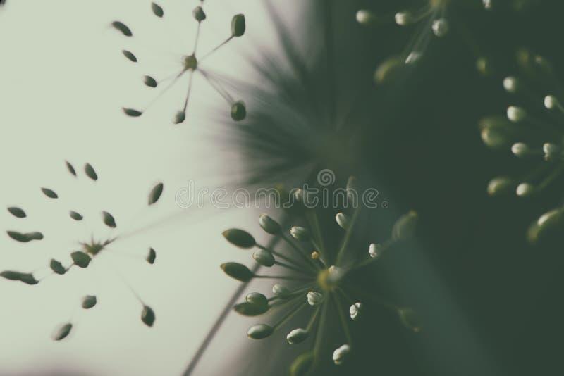 Le macro plan rapproché du groupe fleurissant d'herbe d'aneth fleurit le GR photo stock