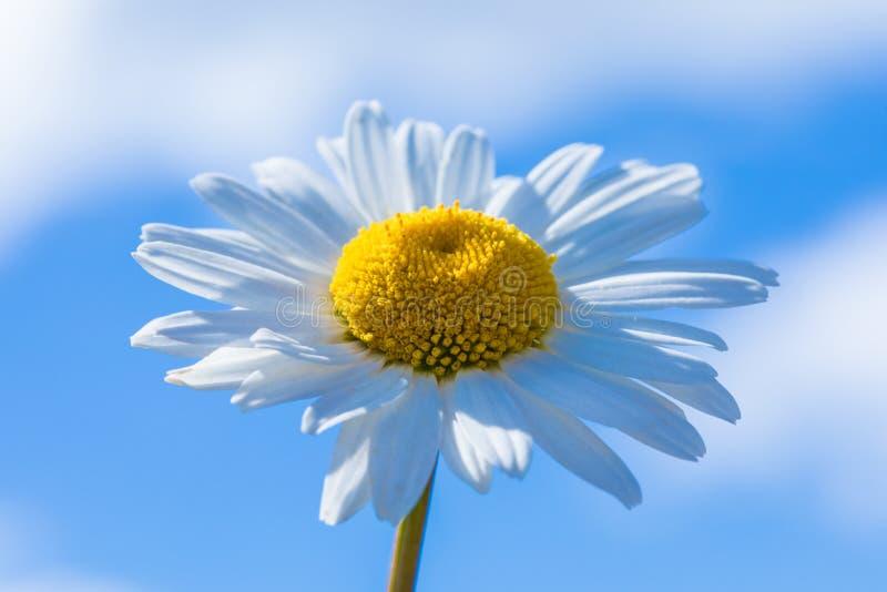 Le macro tir de la belle fleur de camomille ou de marguerite sur le fond du ciel bleu avec des nuages par temps ensoleillé images libres de droits