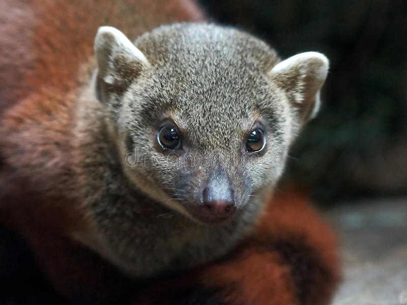 Le Madagascar anneau-a coupé la queue la mangouste (les elegans de Galidia) images stock