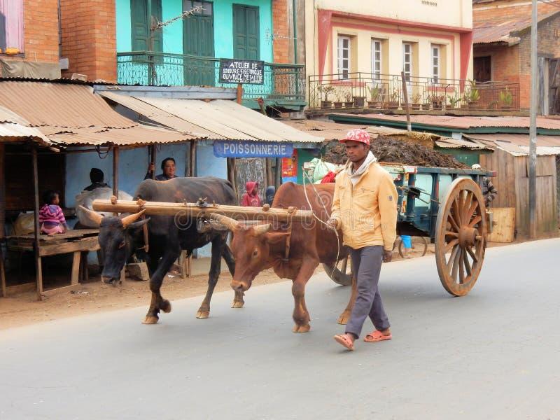 Le Madagascar, chariot dessiné par des bétail de zébu, Antsirabe images stock