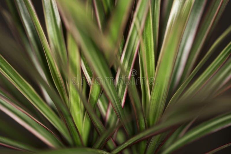 Le Madagascar Dragon Tree images stock