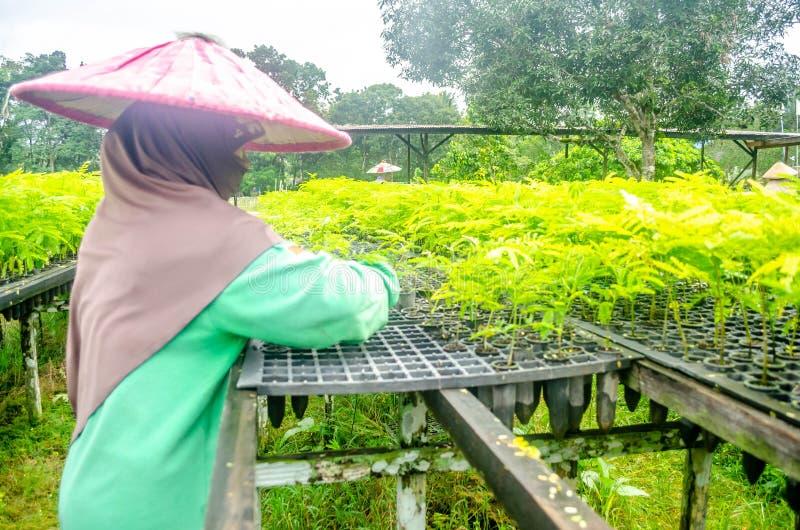 Le main-d'œuvre féminine choisissent les jeunes plantes dans la crèche images libres de droits