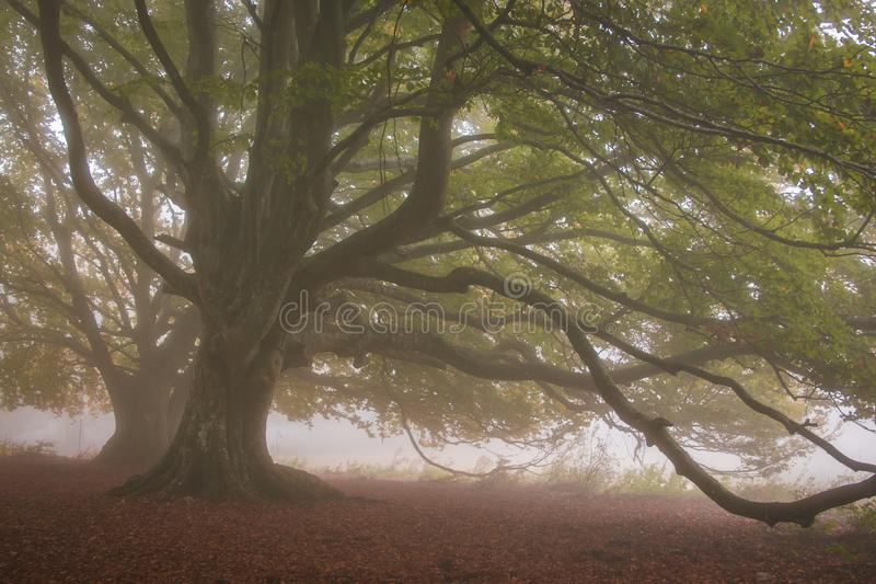 Le majestueux hêtre séculier dans le brouillard automnal d'octobre images stock