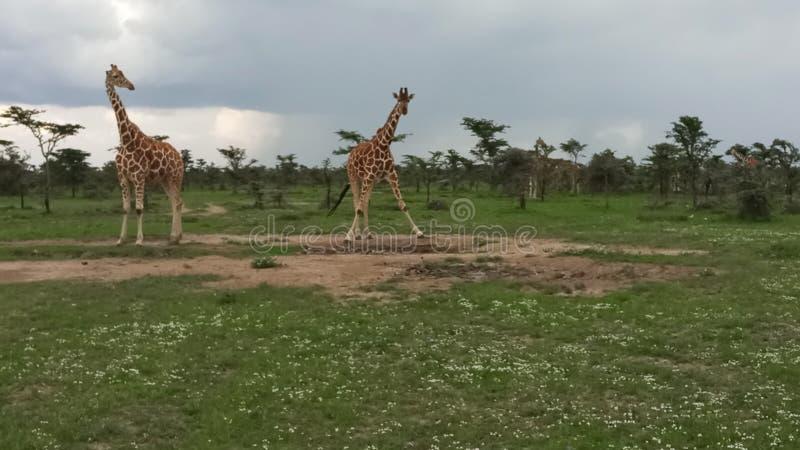 Le mammifère le plus grand photo libre de droits