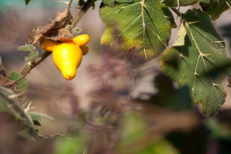 Mammosum de solanum photo stock