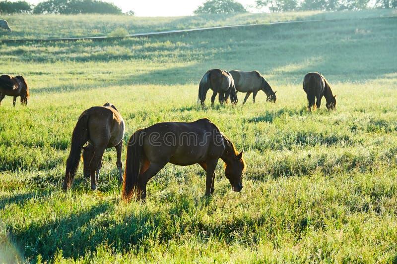 Le manada sur le lever de soleil de pré photographie stock