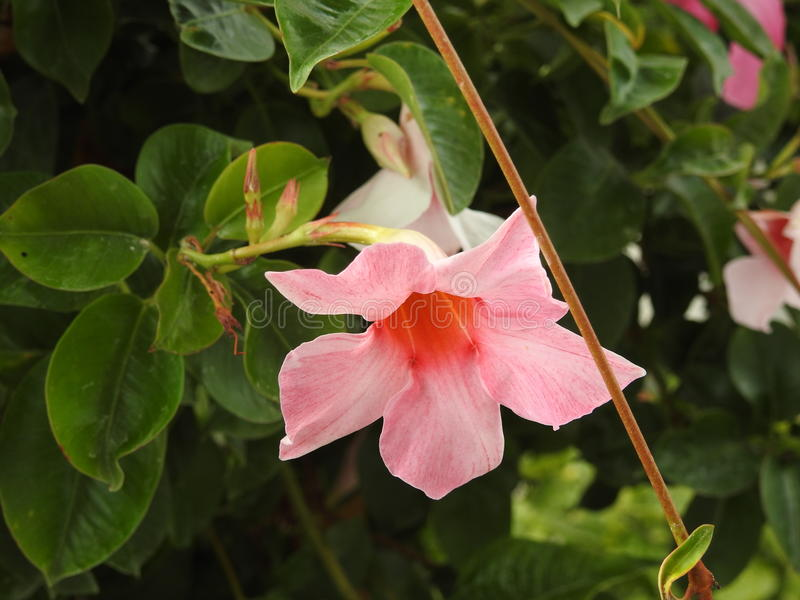 Download Le Mandevilla Est Une Usine De L'Amérique Du Sud Que Les Craintes Givrent Photo stock - Image du beau, floral: 87704702