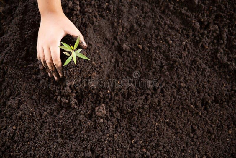 Le mani del bambino che tengono e che si preoccupano una giovane pianta verde, piantine stanno sviluppando da suolo abbondante, p immagine stock libera da diritti