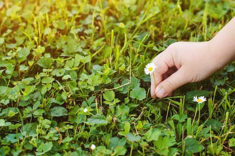 Le mani del bambino hanno selezionato i piccoli fiori della margherita Priorità bassa della natura con lo spazio della copia Conc fotografia stock