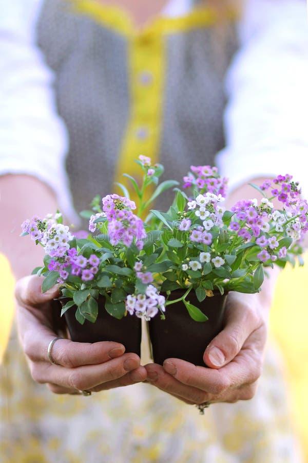 Le mani del giardiniere che tengono il vaso dell'alyssum dolce fiorisce immagine stock libera da diritti