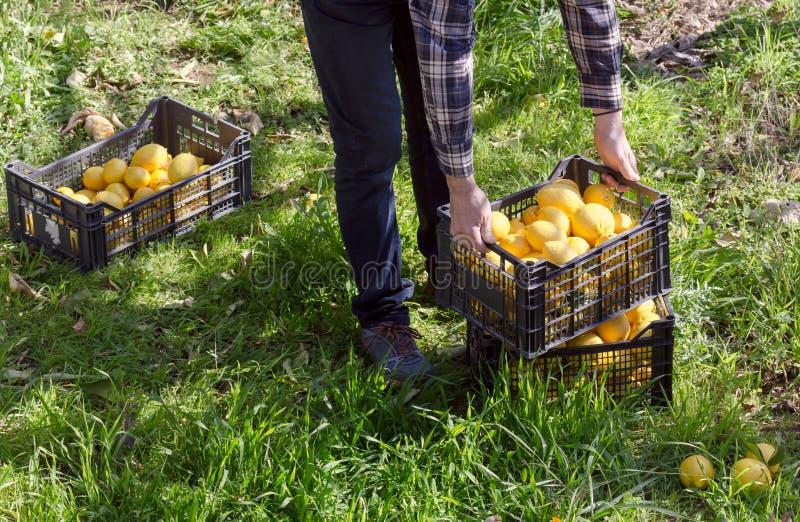 Le mani del ` s degli uomini tengono una scatola con i limoni fotografie stock