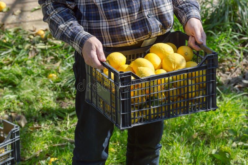 Le mani del ` s degli uomini tengono una scatola con i limoni immagine stock
