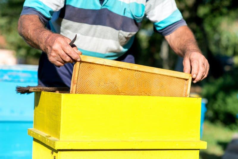 Le mani dell'apicoltore estrae dall'alveare una struttura di legno con il favo Raccolga il miele Concetto di apicoltura immagine stock libera da diritti