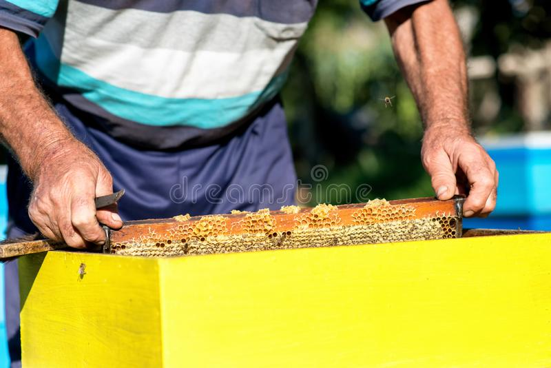 Le mani dell'apicoltore estrae dall'alveare una struttura di legno con il favo Raccolga il miele Concetto di apicoltura immagini stock