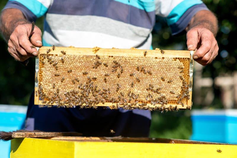 Le mani dell'apicoltore estrae dall'alveare una struttura di legno con il favo Raccolga il miele Concetto di apicoltura fotografia stock