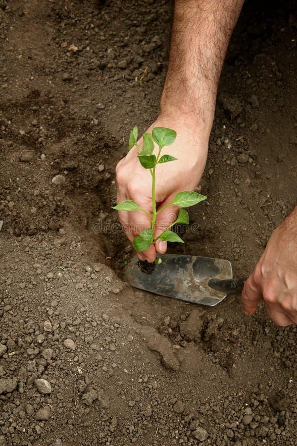 Le mani dell'uomo hanno piantato una plantula di pepe nella terra Piantatura dei semenzali del pepe Fabbricazione del foro nella  fotografia stock
