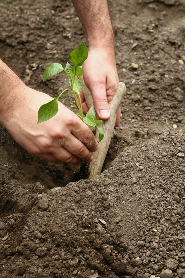 Le mani dell'uomo hanno piantato una plantula di pepe nella terra Piantatura dei semenzali del pepe Fabbricazione del foro nella  fotografia stock libera da diritti