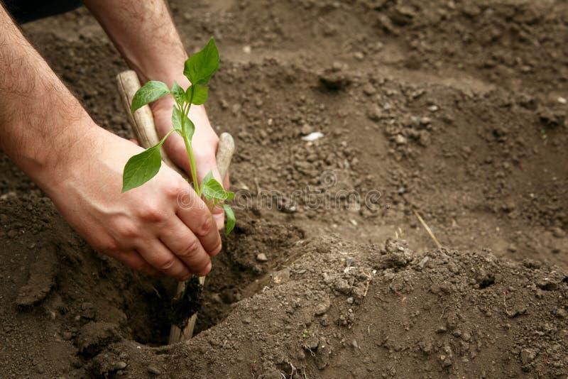 Le mani dell'uomo hanno piantato una plantula di pepe nella terra Piantatura dei semenzali del pepe Fabbricazione del foro nella  immagine stock
