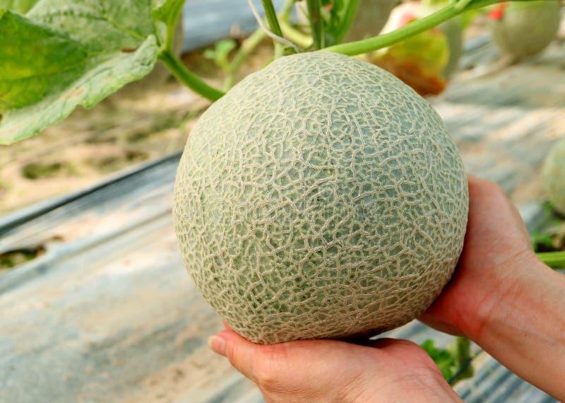 Le mani della donna che tengono con attenzione una frutta fresca del cantalupo o del melone sull'albero fotografie stock