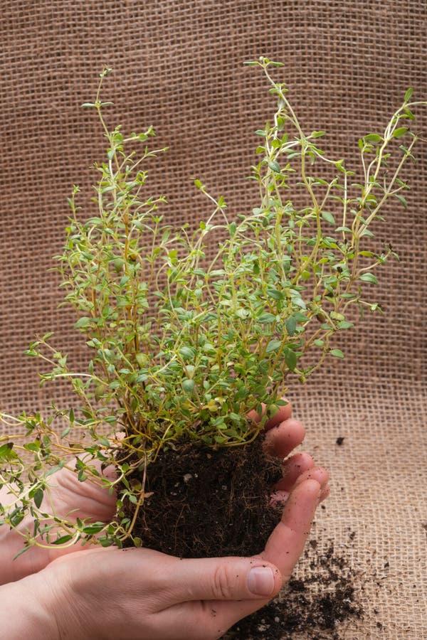 Le mani della donna che tengono la pianta organica del timo con le radici in suolo fertilizzato su tela da imballaggio naturale T immagine stock libera da diritti