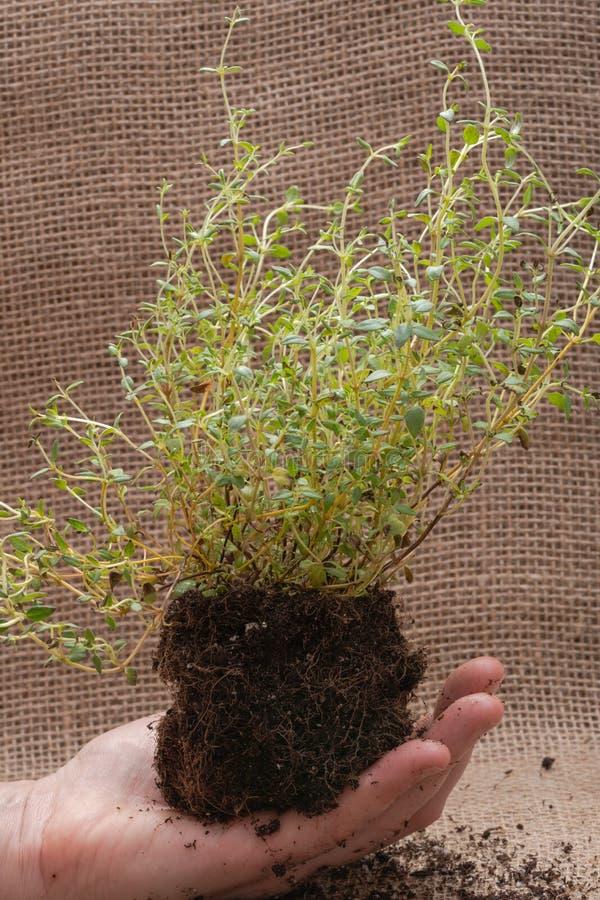 Le mani della donna che tengono la pianta organica del timo con le radici in suolo fertilizzato su tela da imballaggio naturale T fotografie stock libere da diritti