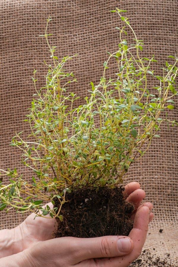 Le mani della donna che tengono la pianta organica del timo con le radici in suolo fertilizzato su tela da imballaggio naturale T immagine stock