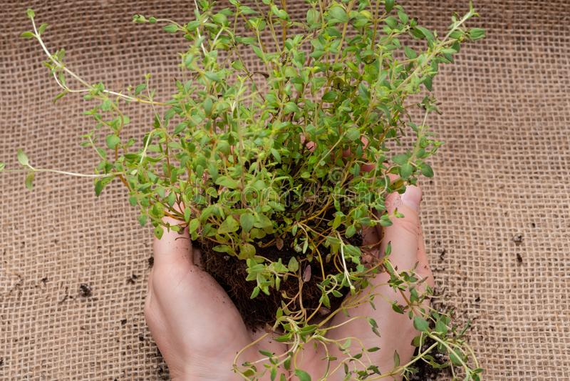Le mani della donna che tengono la pianta organica del timo con le radici in suolo fertilizzato su tela da imballaggio naturale T fotografia stock