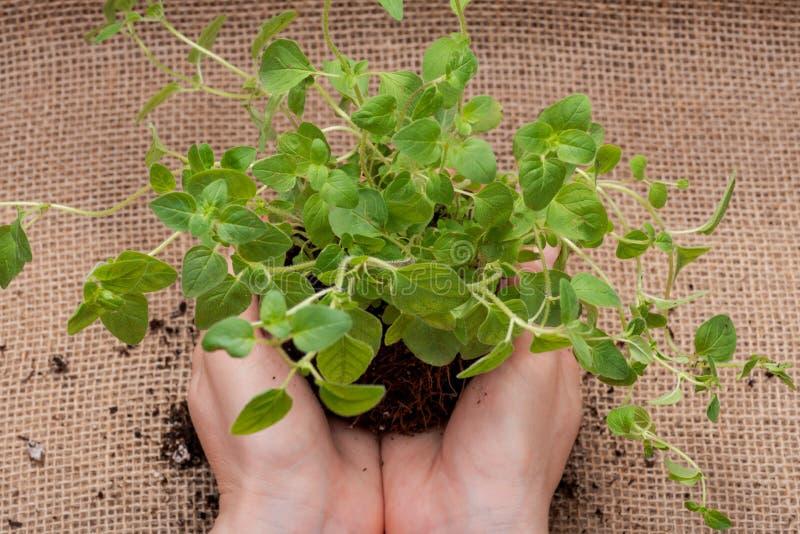 Le mani della donna che tengono la pianta organica dell'origano con le radici in suolo fertilizzato su tela da imballaggio natura fotografia stock