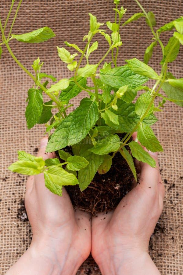 Le mani della donna che tengono la pianta organica della menta piperita con le radici in suolo fertilizzato isolato sul fondo nat fotografie stock