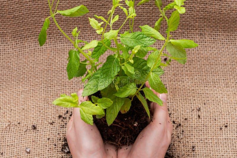 Le mani della donna che tengono la pianta organica della menta piperita con le radici in suolo fertilizzato isolato sul fondo nat immagini stock