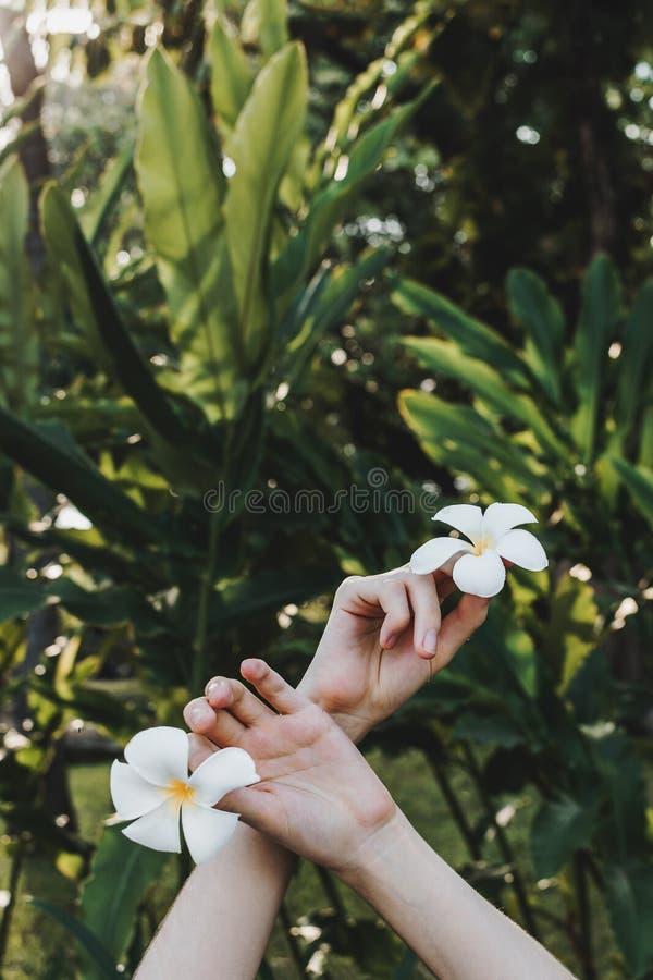 Le mani della donna che tengono la plumeria o i fiori del frangipane in mani in foresta tropicale immagini stock