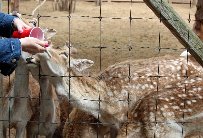 Le mani della giovane donna che tengono tazza rossa con alimento per il gruppo di cervi graziosi in zoo fotografia stock libera da diritti