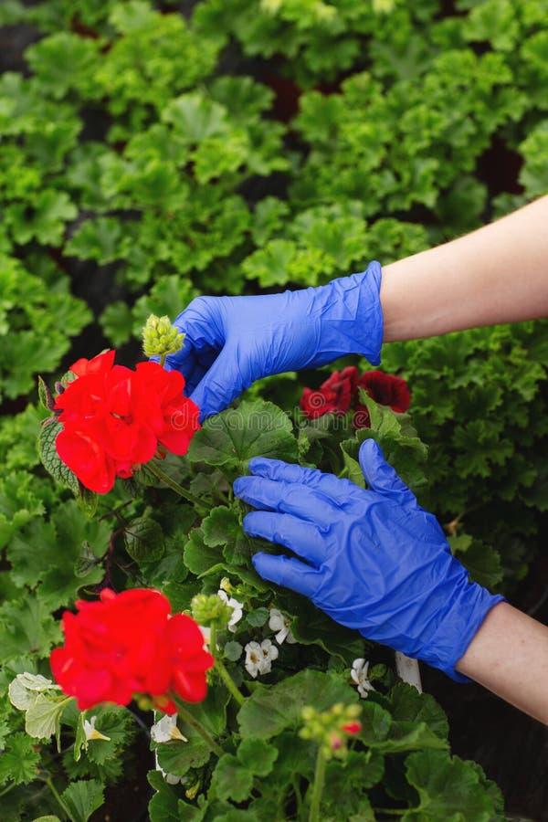 Le mani delle donne in guanti mezzi blu sono bei fiori rossi trapiantati del geranio nel giardino fotografia stock